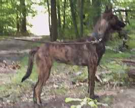 A six  month old Dutch Shepherd