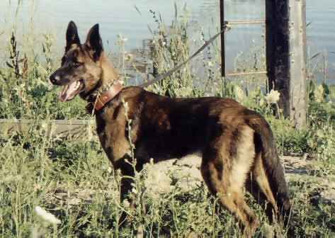 BADEN'S DUTCH SHEPHERDS DOG-NOBLE AND STABLE.