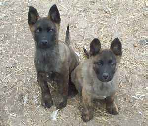BADEN'S DUTCH SHEPHERDS PUPS AT EIGHT WEEKS OF AGE